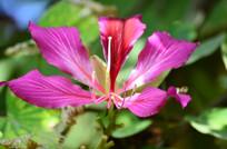 紫荆花花卉图片
