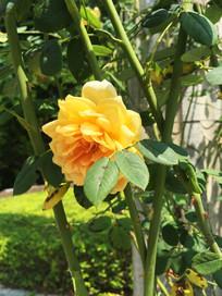 黄色玫瑰浪漫宝贝