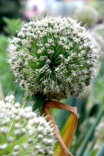 即将成熟的的大葱花