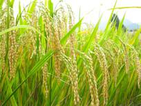 生态农业稻田稻穗稻谷