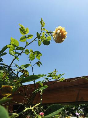 一支黄玫瑰