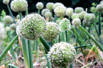 大葱地里的大葱花