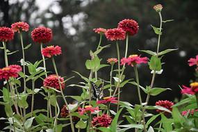 红花中的蝴蝶
