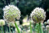 两朵大葱花