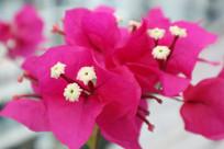 漂亮三角梅开花花蕊特写照片