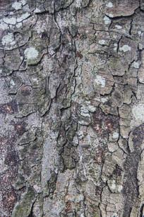 树皮粗裂纹