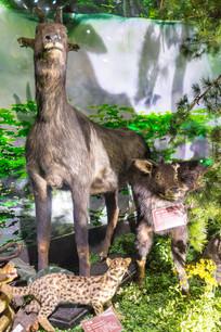 苏门羚标本展览