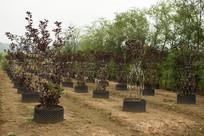 紫叶李造型树