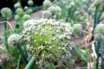 大葱基地里的大葱花