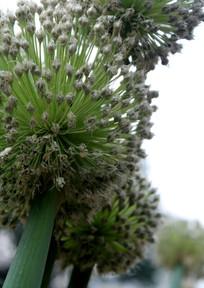 大葱基地生长的葱花