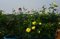 美丽的玫瑰花风景
