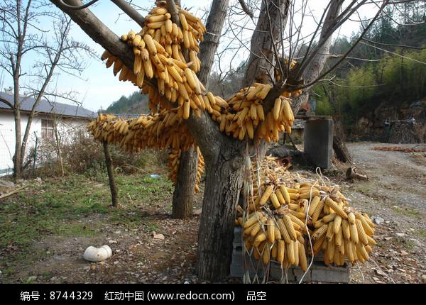 农家院里的玉米棒图片