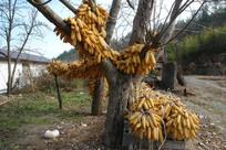 农家院里的玉米棒