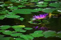 紫色睡莲绿色莲叶