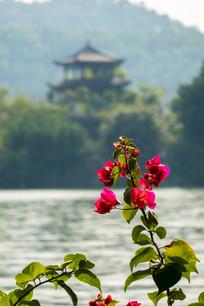 惠州西湖边的三角梅
