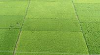 绿油油的稻田