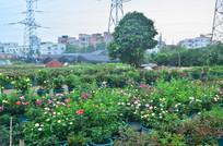 玫瑰花花卉田园风光图片
