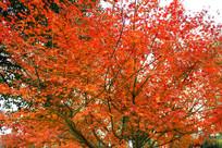 日本红枫素材