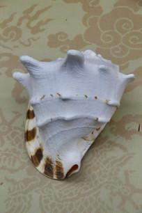 皇冠螺标本