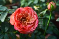灿烂的月季花卉图片