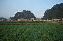 红薯农作物田园风景图片