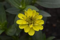 黄色百日菊