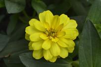 黄色对叶菊