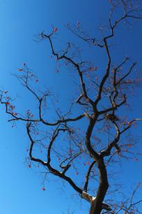 蓝天背景下柿子在枝头