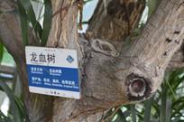 龙血树树干