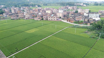 绿油油的稻田风景