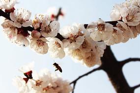 蜜蜂杂杏花间飞舞
