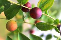 秋天的红酸枣