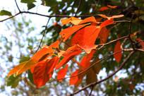 深秋树木叶红景美