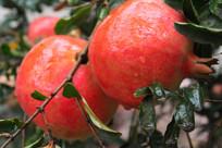 石榴树上的红石榴