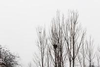 雾霾天树上的鸟窝和鸟