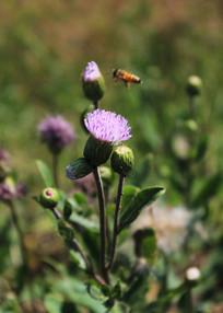 小蓟花吸引蜜蜂来