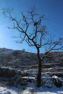 雪地田野里的柿子树