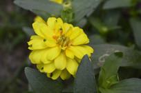 一朵百日菊花朵