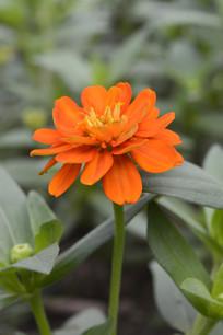 一朵橙色百日菊