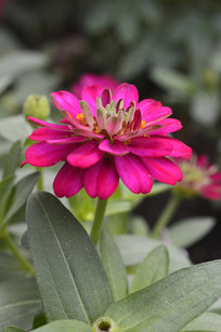 一朵绯红色百日菊
