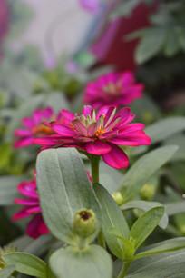 一朵红色的百日菊