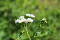 白色野生小花