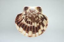 彩条海扇蛤