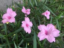 翠芦莉花卉