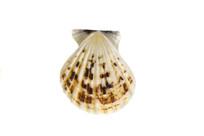 粗肋海扇蛤