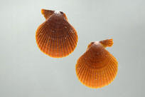 粗面海扇蛤
