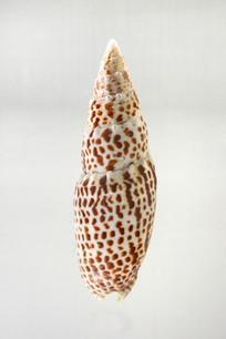 大红牙笔螺