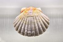 大欧海扇蛤