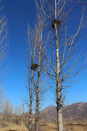 冬日田野树上的鸟窝