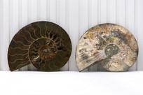 尖腹菊石化石